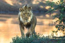 P_02_021_Mandy_King_Lion
